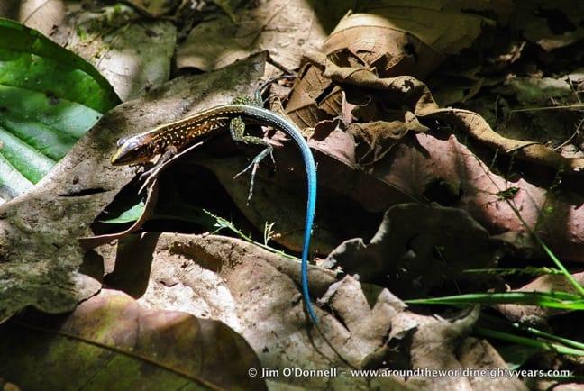 Central-American-Whiptail-Ameiva-festiva-La-Selva-Biological-Research-Station