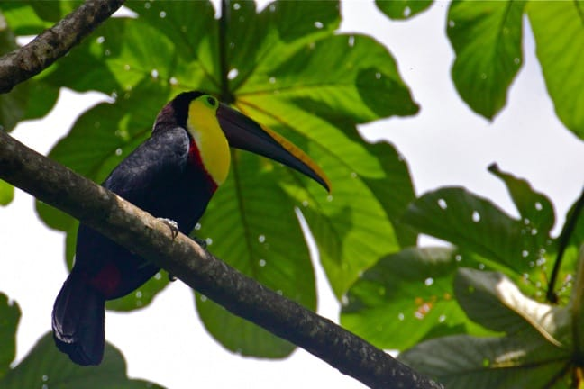 Chestnut Mandibled Toucan in Corcovado National Park, Costa Rica