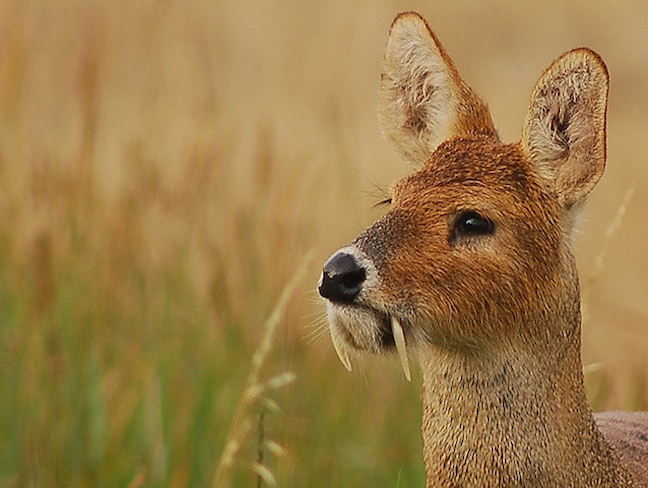 Weird Mammals Around The World, Chinese Water Deer