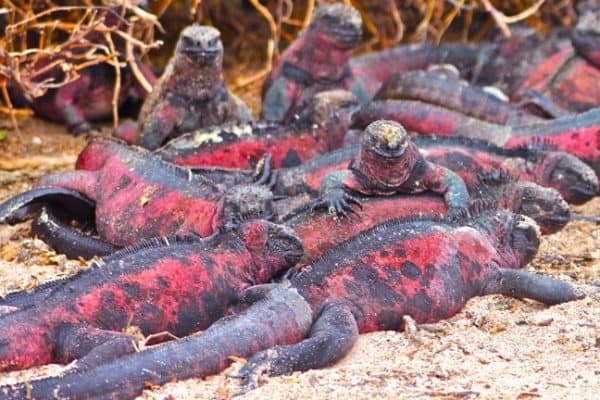 VIDEO: Marine Iguanas of The Galapagos Islands