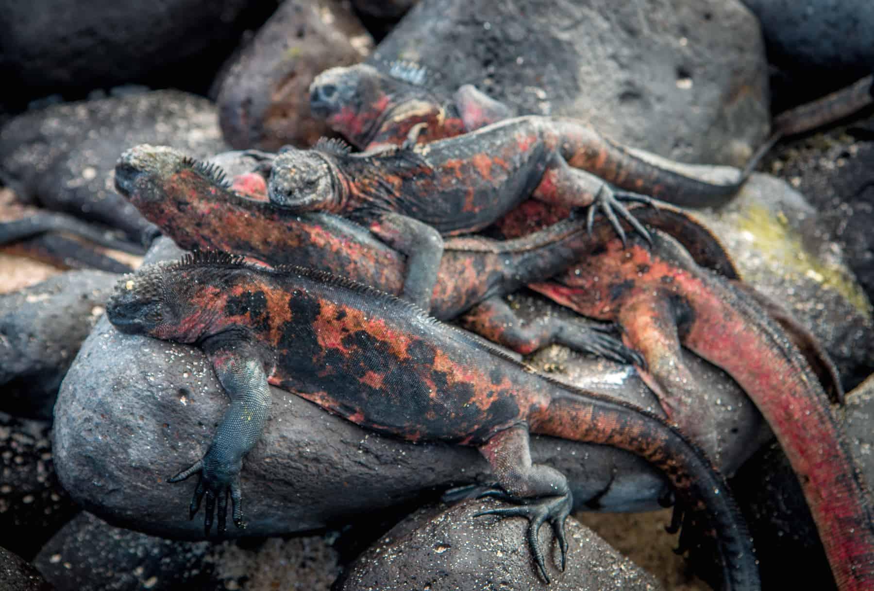 Christmas Iguanas on Española Island, Galapagos