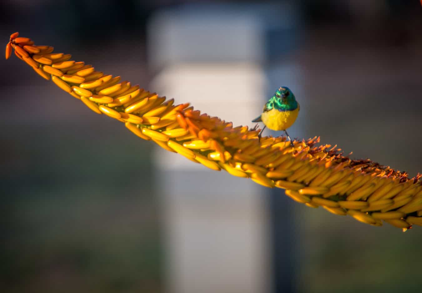 Collared Sunbird in Kruger National Park