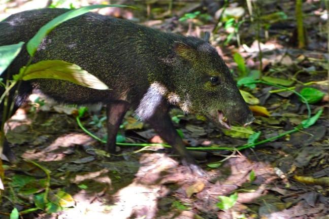 Collared Peccary in Corcovado_National_Park_Costa_Rica