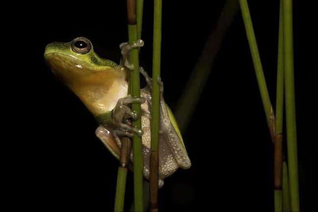 Cooloola Sedge Frog, Fraser Island, Australia