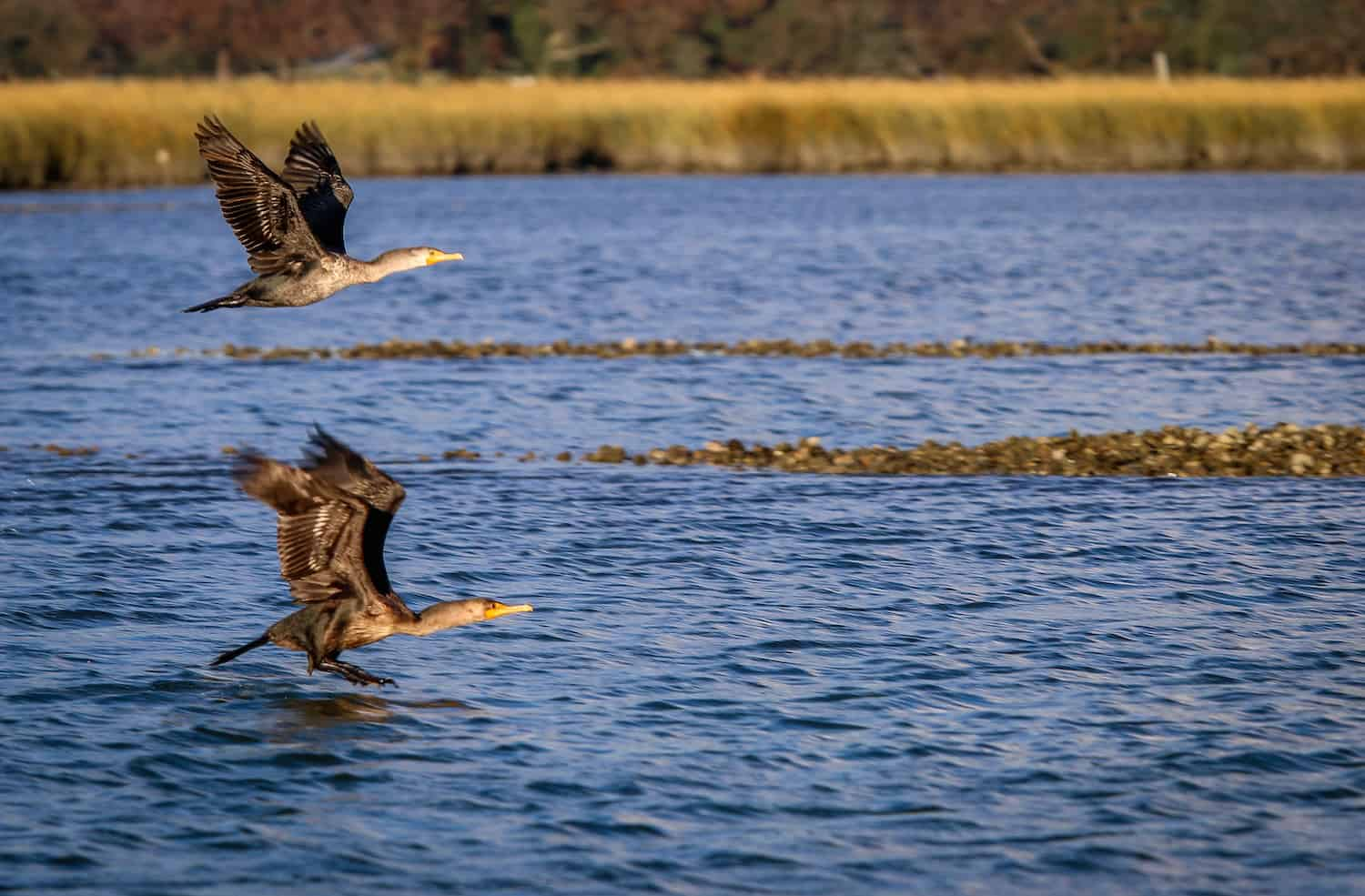 Cormorants in Lynnhaven River, Virginia