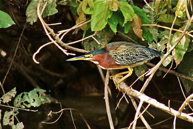 Costa Rican Birds -Black-Crowned Night Heron in Cano Negro