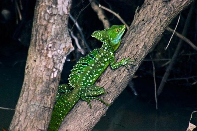 Lizards in Costa Rica -Jesus Christ Lizard in Cano Negro Wildlife Refuge