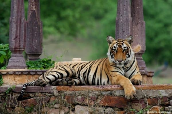 Ranthambore National Park- On the Trail of Tigers In India