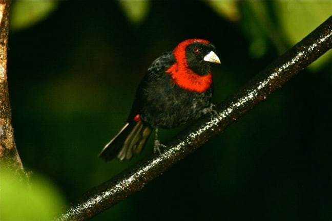 Costa Rica Rainforest Birds-Crimson Collared Tanager in Tirimbina Biological Reserve