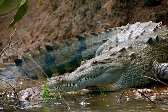 American Crocodile in Sierpe River
