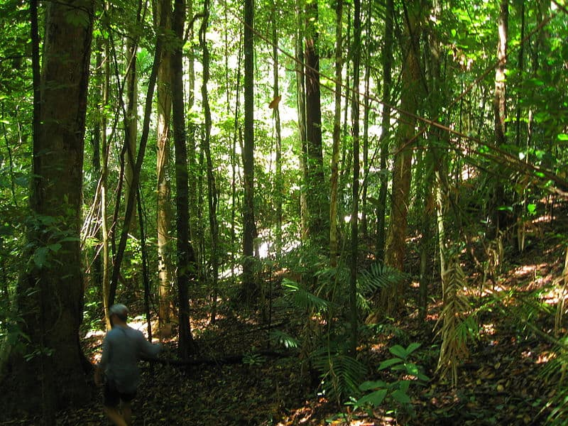 Daintree Rainforest with Bushwalker, Queensland