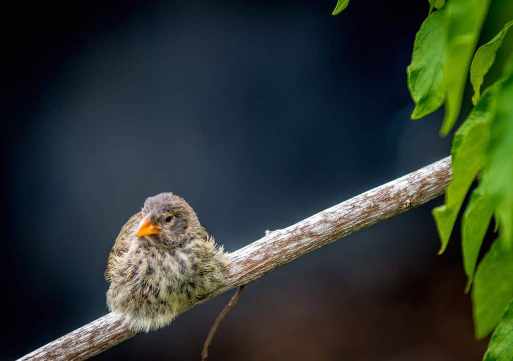 Galapagos Finch -Darwin's Finch