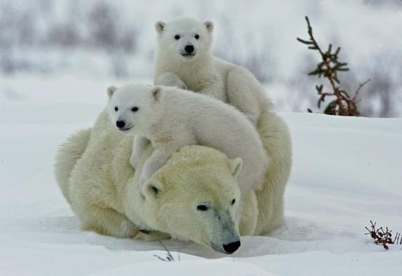 Baby Polar Bears On Ice Wallpaper | Caroldoey