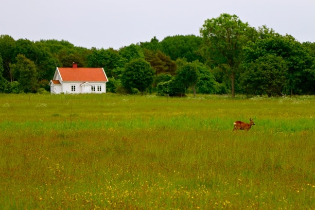 Deer in a Pasture on South Koster Island, Sweden
