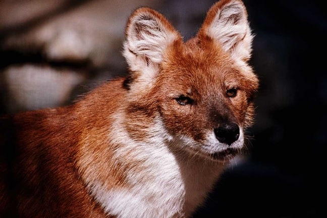 The Dhole (a.k.a. Indian Wild Dog)