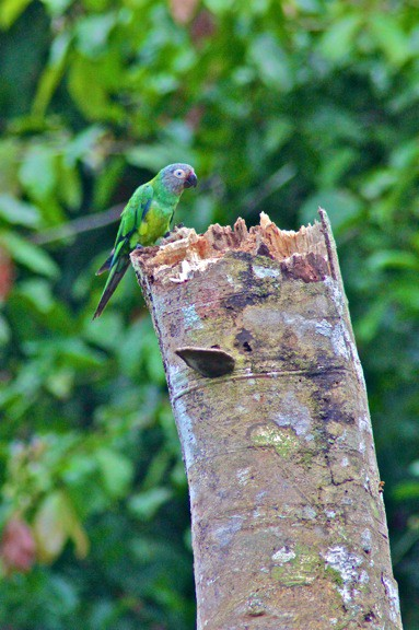 Dusky Headed Parakeet