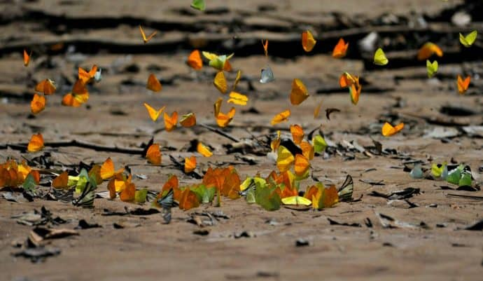 Ecuador Amazon Rain Forest butterflies