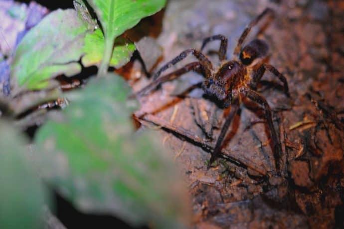 Ecuadorian Amazon Rain Forest Scorpion Spider