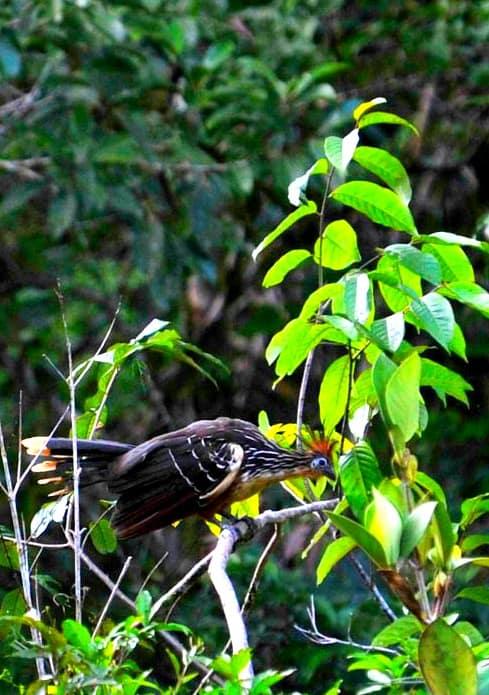 Ecuadorian Amazon Rain Forest Hoatzin bird