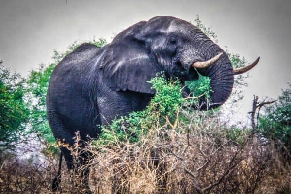 Elephant from a life changing experience in Londolozi Game Reserve