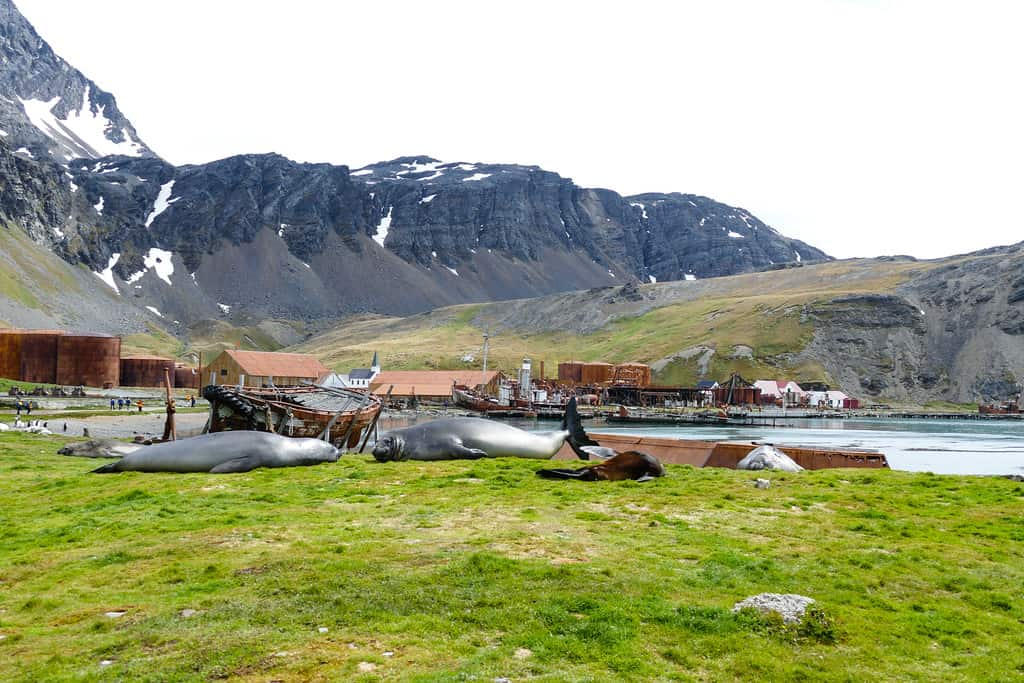 Elephant seals sleep near whaling equipment relics in Grytviken on South Georgia Island
