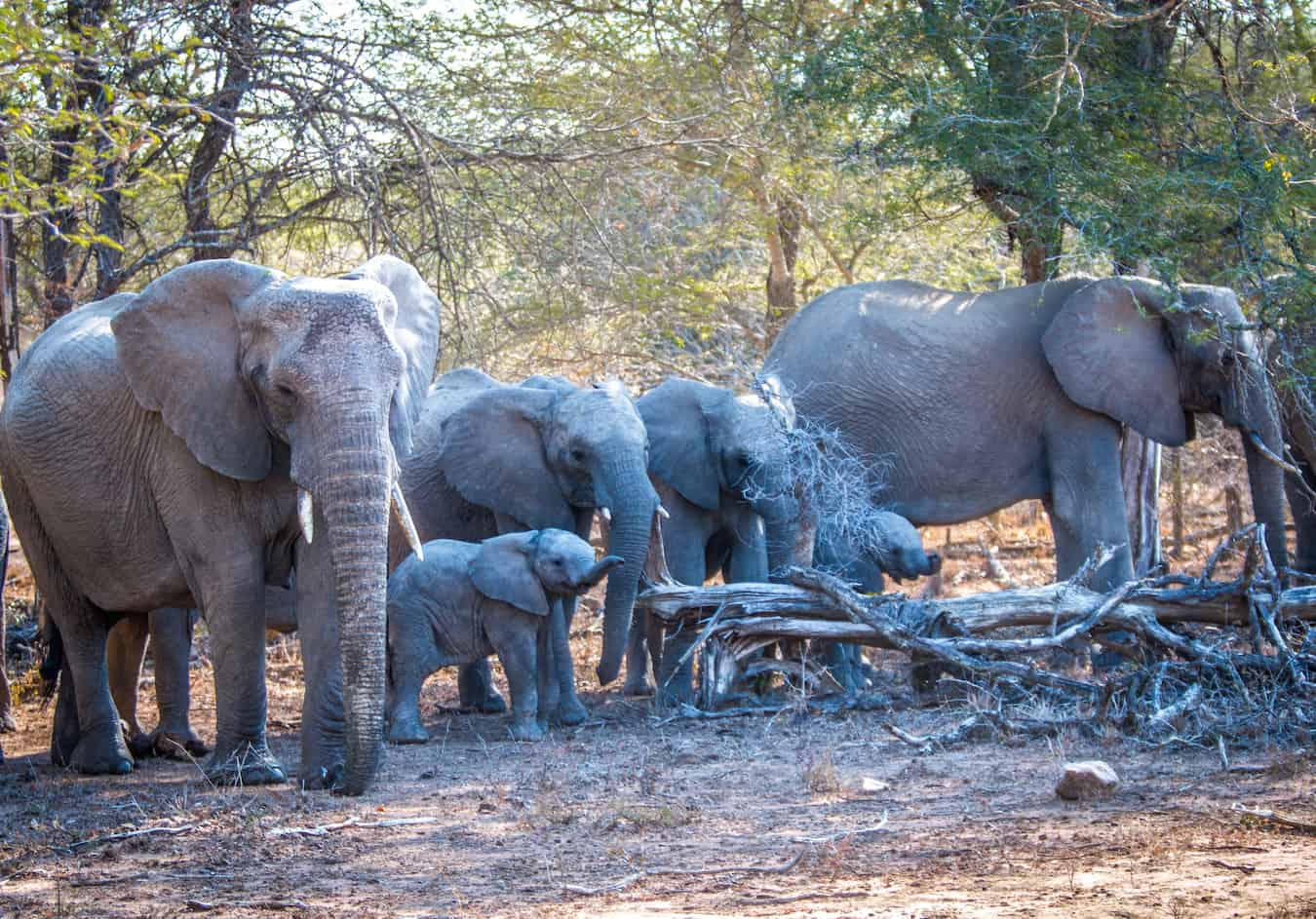 Facts About Elephants: African Elephants with Elephant Babies in Kruger National Park, South Africa