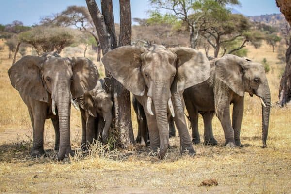 Facts about Elephants: Endangered Elephants in Tarangire National Park, Tanzania