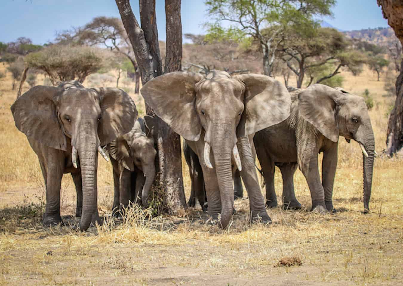d5eca24d7 Facts about Elephants  Endangered Elephants in Tarangire National Park