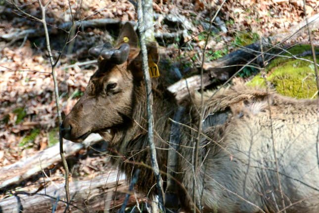 Male Elk in Great Smoky Mountains National Park