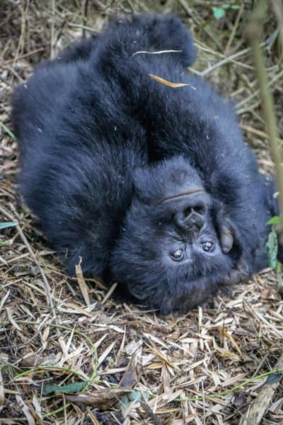 Female Mountain Gorilla in Rwanda