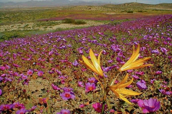 Flowers in Chile's Atacama Desert