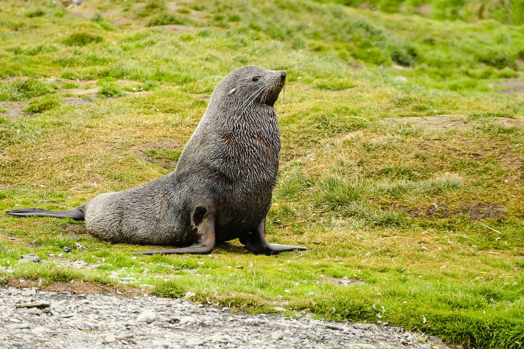 Fur seal poses in Grytviken on South Georgia Island
