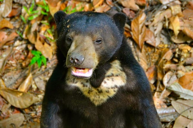 Sun Bear Cub at the Borneo Sun Bear Conservation Centre in Sabah