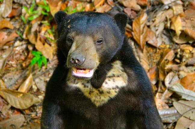 Sun Bear Cub at the Borneo Sun Bear Conservation Centre in Sabah