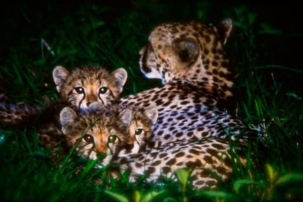FRIDAY PHOTO: Baby Cheetahs in South Africa