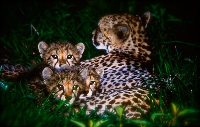 Baby Cheetahs in Kruger National Park, South Africa