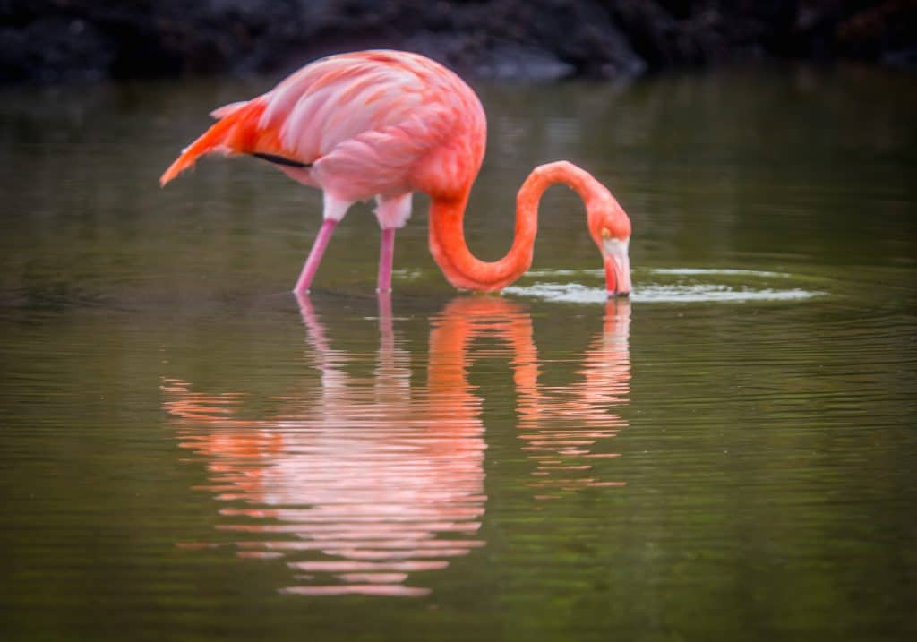 The Galapagos Islands Animals: Galapagos Flamingo