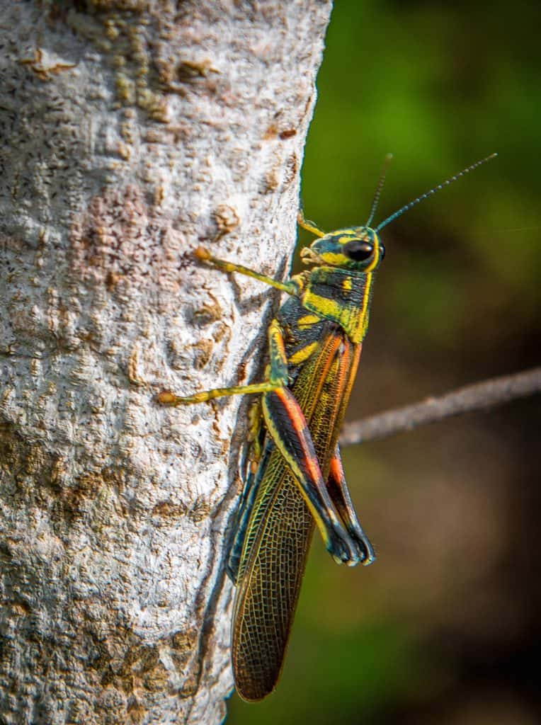 Galapagos Islands Insects: Painted Locust