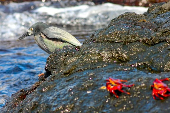 Galapagos Birds: A Lava Heron fishes along the shore of Santiago Island.