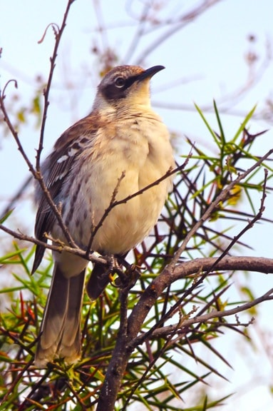 Galapagos Islands Animals: Galapagos Mockingbird