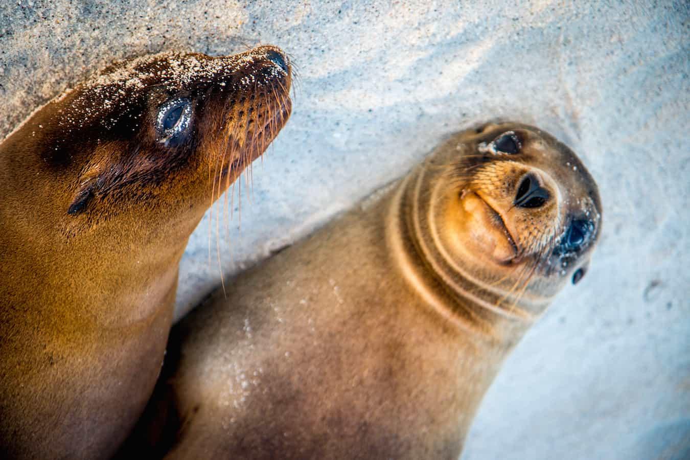 Baby Galapagos Sea Lions