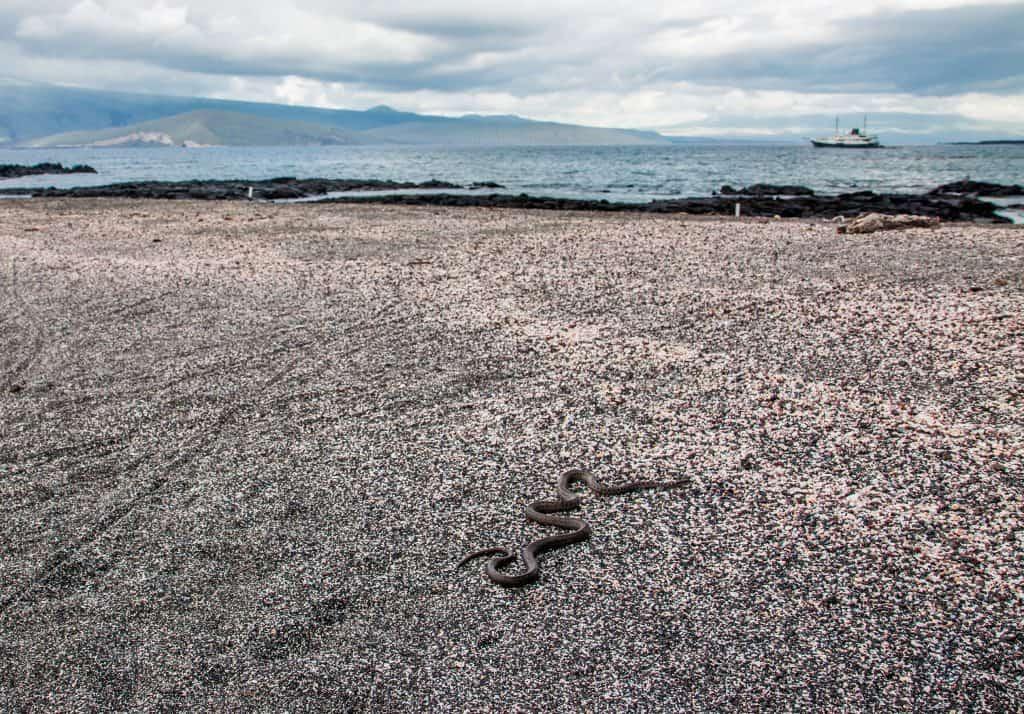 Galapagos Islands Animals: Galapagos Snake