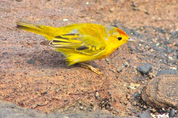 Galapagos Birds: The brilliantly colored yellow Mangrove Warbler.