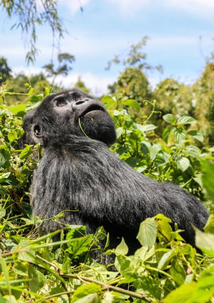 Silverback Gorilla in Rwanda's Volcanoes National Park