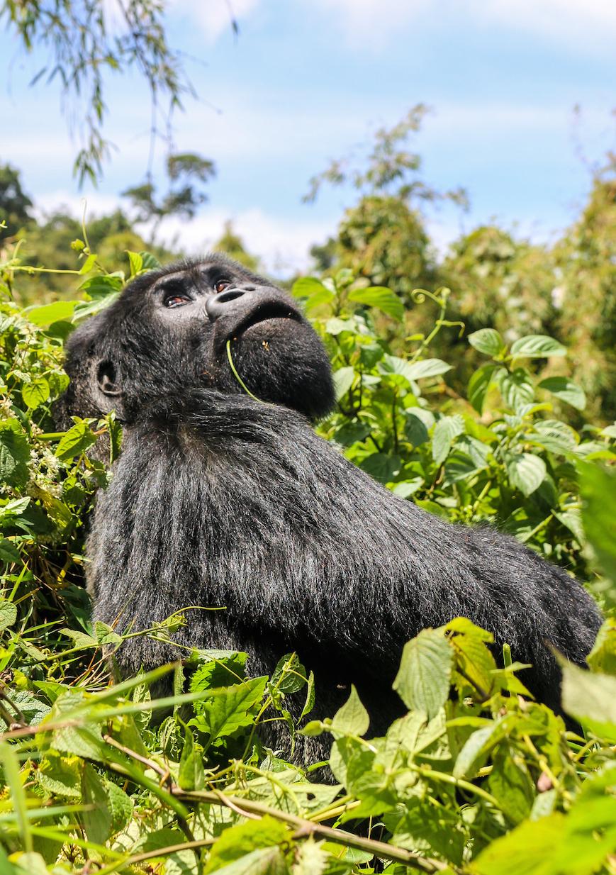 gorilla-dreamy