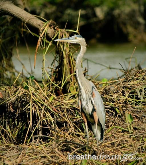 Birding in Costa Rica -Great Blue Heron in Palo Verde National Park