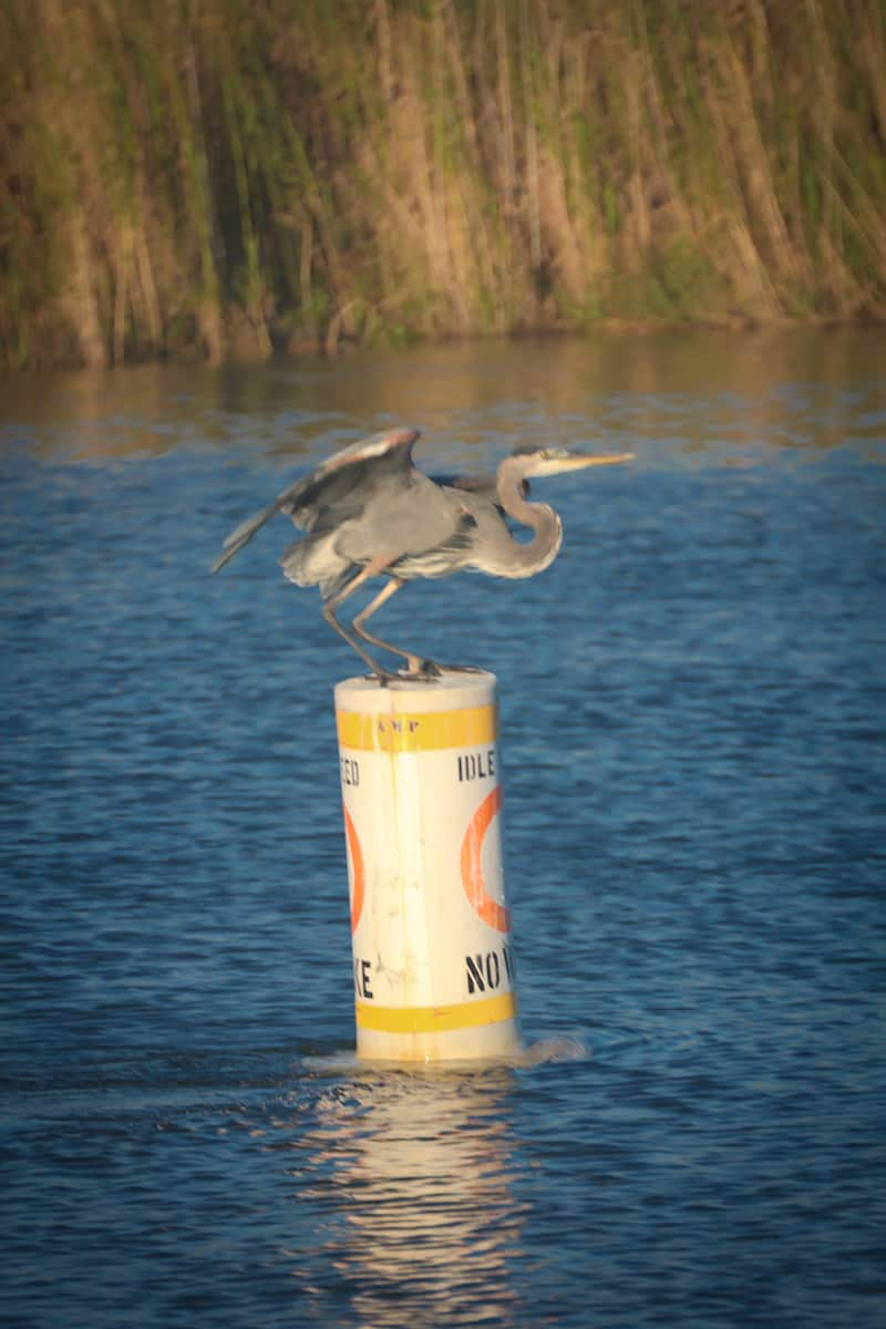 Great Blue Heron in Mobile Bay, Alabama