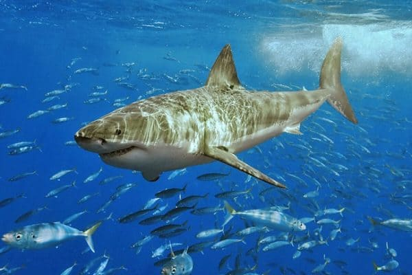 ECO NEWS: Australia Approves Killing of Great White Sharks