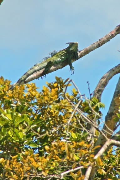 Green Iguana in the Peruvian Amazon