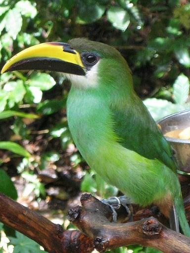 Green Toucanet